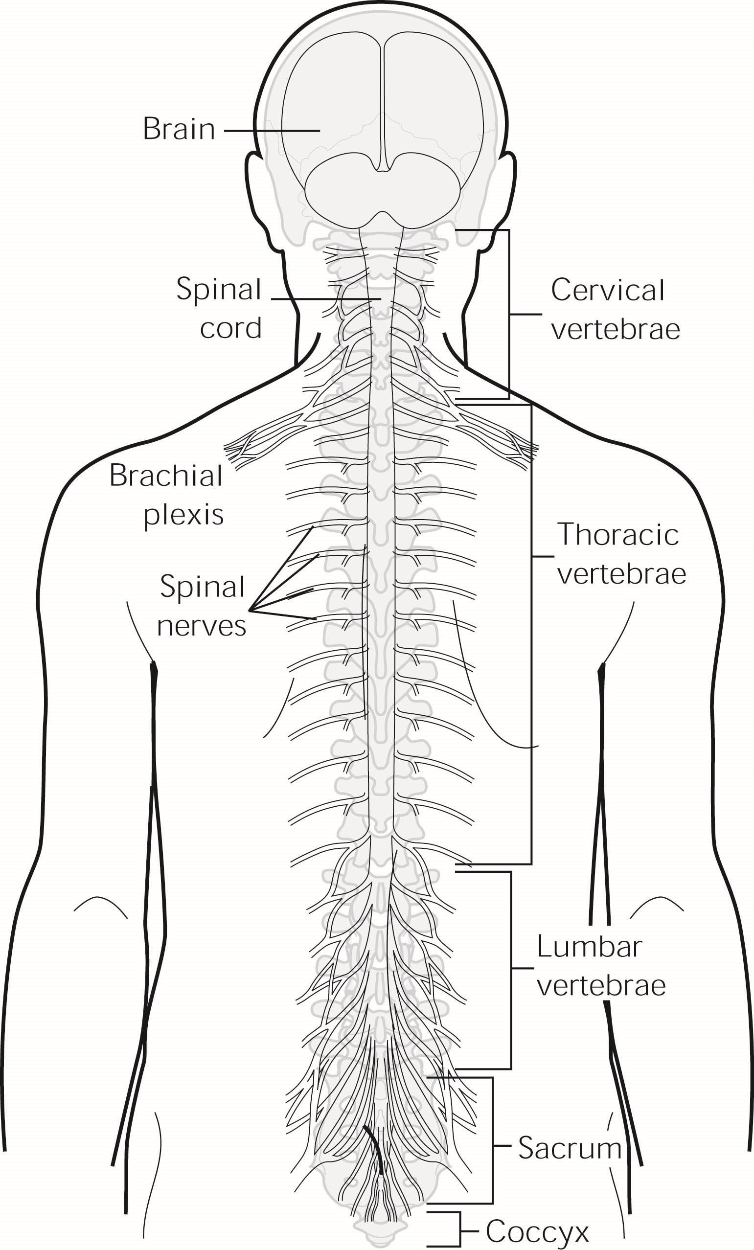 The spine consists of 24 vertebrae. Cervical spondylosis affects one or more of the top seven vertebrae of the spine.