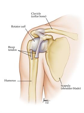 Rotator cuff is a group of muscles that sits in the small space between the acromion and the humerus.