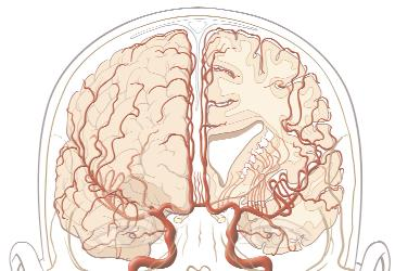 Why does the left side of the brain control the right side of your body?
