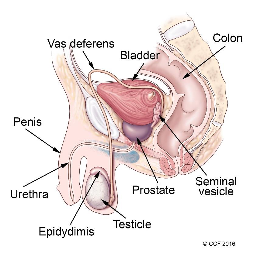 Male Reproductive System Information Cleveland Clinic