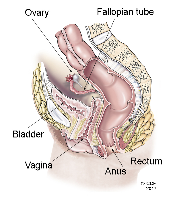 Pelvic organs after total hysterectomy – uterus and cervix are removed
