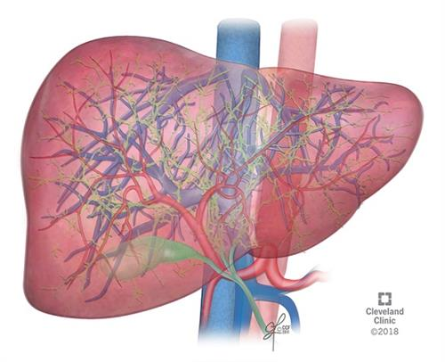 Blood circulation in the liver