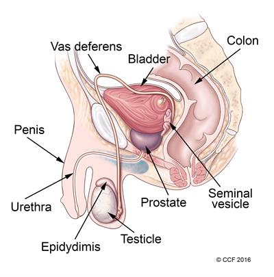 Sperm move from the testes and the epididymis into the vas deferens, picking up fluid as it passes through the seminal vessel and prostate. Sperm is ejaculated (released) through the urethra in the penis.