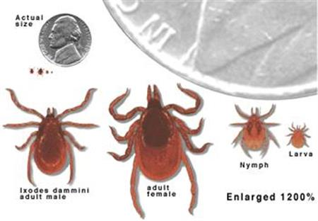 Varieties of ticks and size comparison to United States nickel.