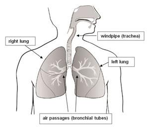 Right lung, air passages (bronchial tubes), windpipe (trachea), left lung