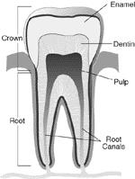 Anatomy of a tooth | Cleveland Clinic