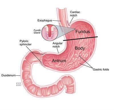 Anatomy of the stomach | Cleveland Clinic