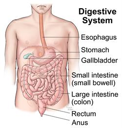 Image of the digestive system