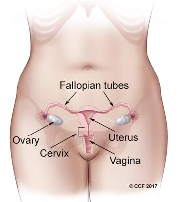 Organs of the female reproductive tract include the vagina, uterus, fallopian tubes and ovaries.