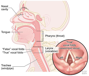 Illustration of your vocal cords, nasal cavity, trachea, tongue, pharynx | Cleveland Clinic