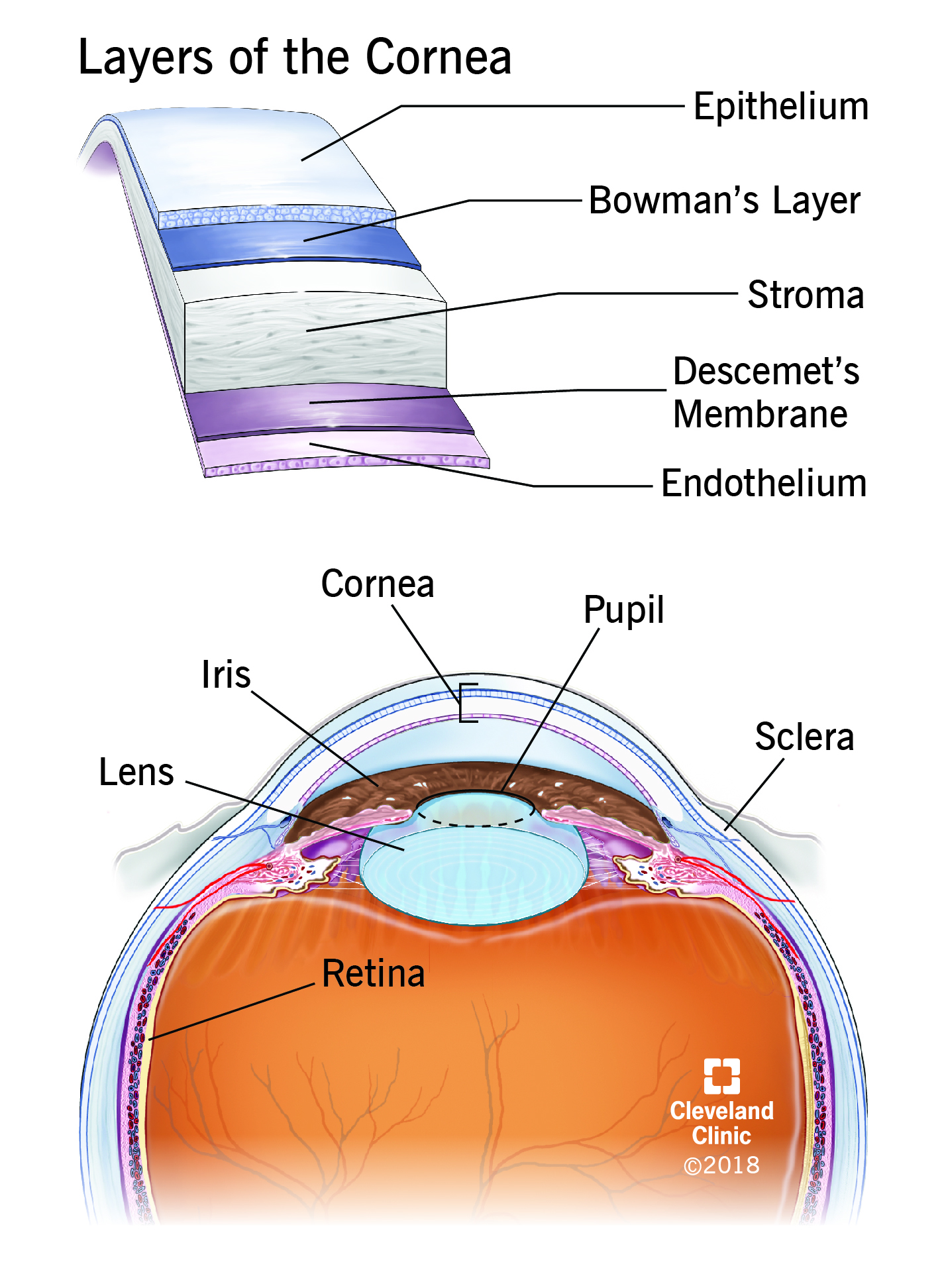Anatomy of the eye and layers of the cornea | Cleveland Clinic