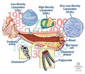 Cholesterol High Density Lipoprotein
