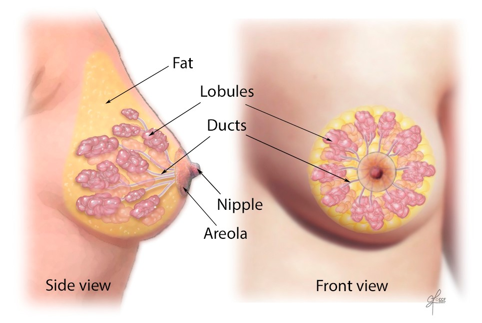 breast side view, breast front view, nipple, areola, ducts, lobule, fat | Cleveland Clinic