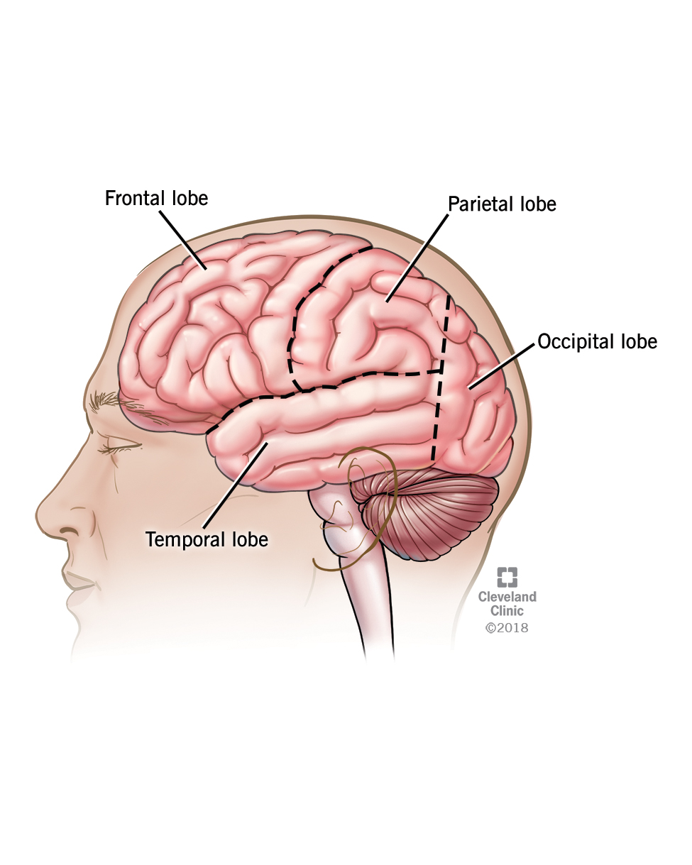Lobes of the brain, including the frontal, temporal, parietal, and occipital lobes