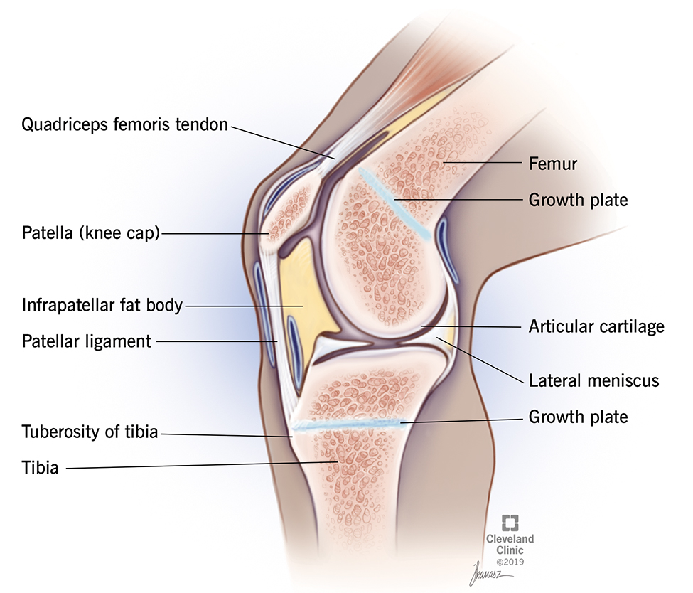 Anatomy of the knee includes patella (knee cap), patellar ligament, lateral meniscus and articular cartilage.