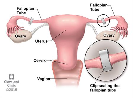 Female reproductive organs front view