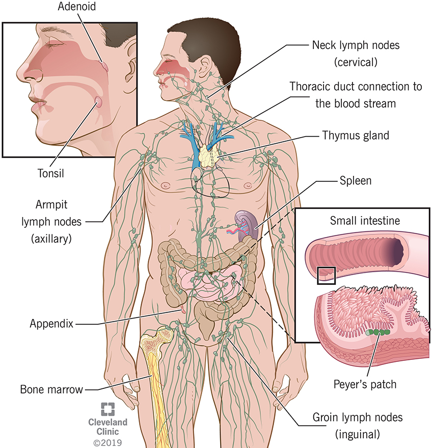 Your immune system is made up of a large number of organs and cells including white blood cells, lymph nodes, spleen, tonsils and adenoids, thymus, bone marrow, skin, stomach and bowel acids and bacteria.