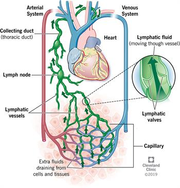 Extra fluids draining from cells and tissues are picked up by lymphatic vessels, moved into collecting ducts and returned to the bloodstream through your subclavian vein.