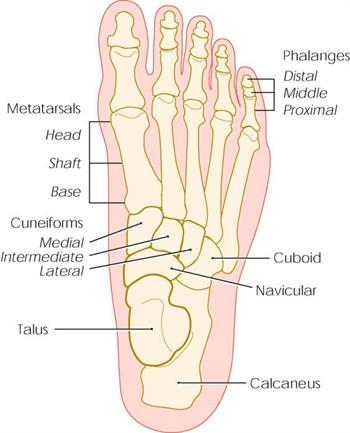 Bones of the foot, including the metatarsals, phalanges (toes) and calcaneus (heel).