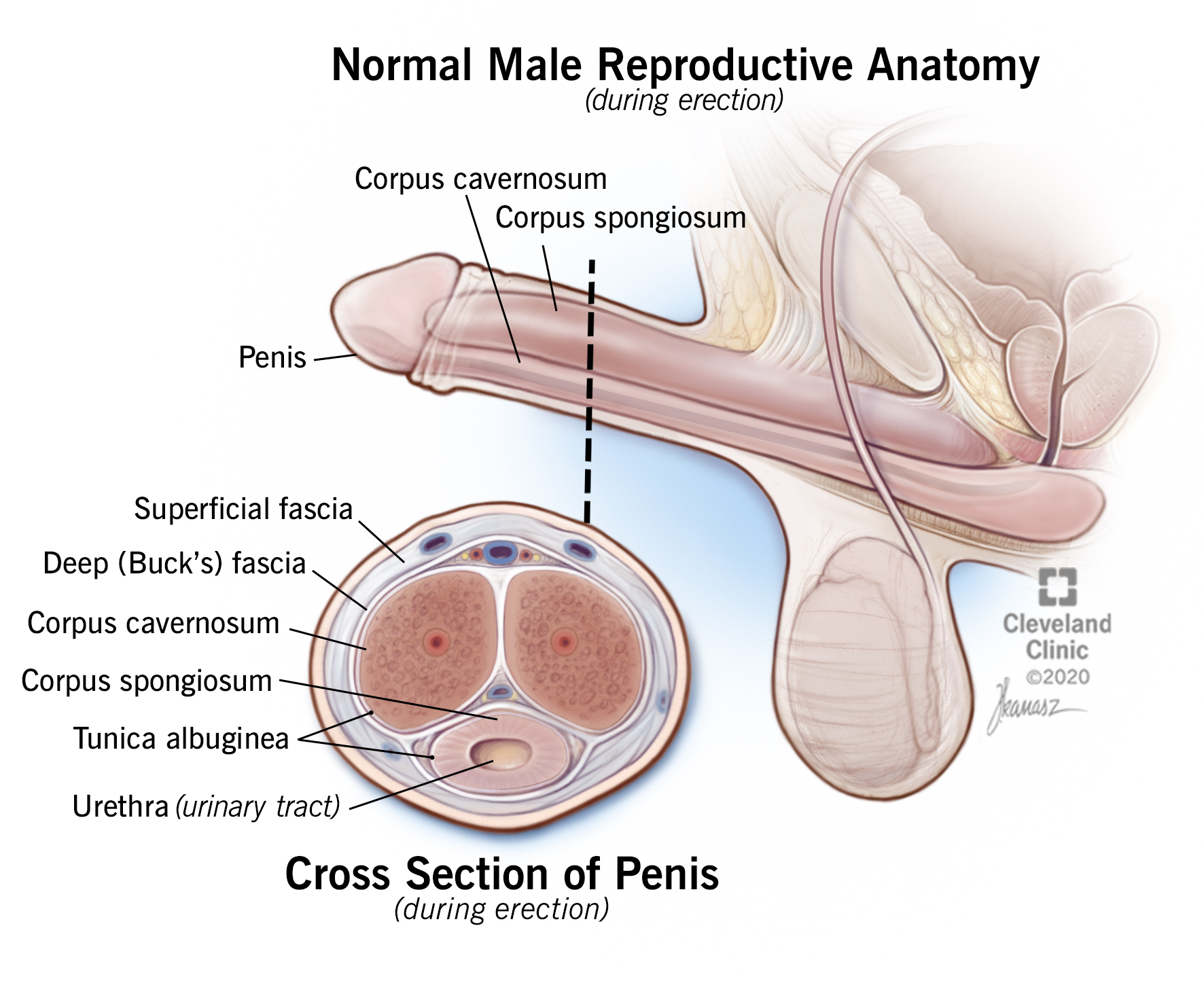 Normal male reproductive anatomy  featuring a cross section of the penis during erection.