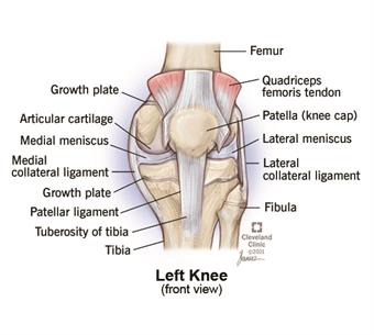 Anatomy of front of knee, showing, bones, ligaments, growth plate and meniscus.