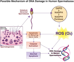 exposure damage Chemical sperm